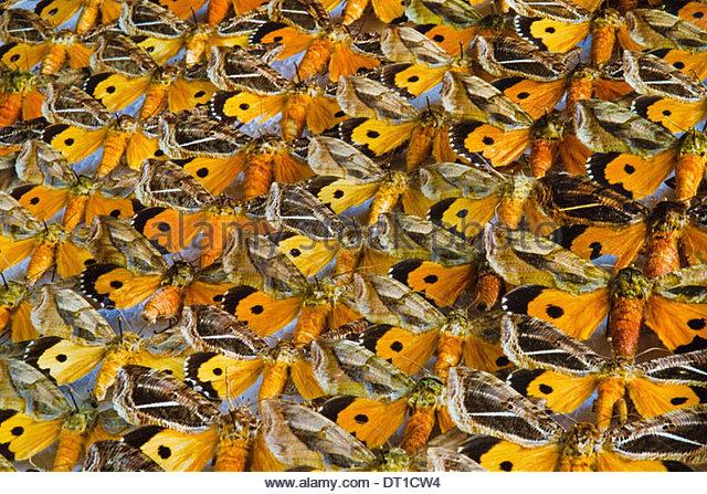 San Jose Costa Rica Nocturnal moth specimen Othreis materna Costa Rica - Stock Image