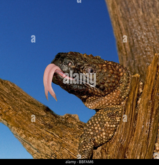 Beaded lizard Heloderma horridum showing forked tongue lives in Guatemala and Mexico and is venomous - Stock Image
