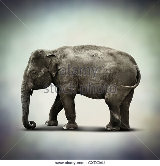 indian elephant - Stock-Bilder