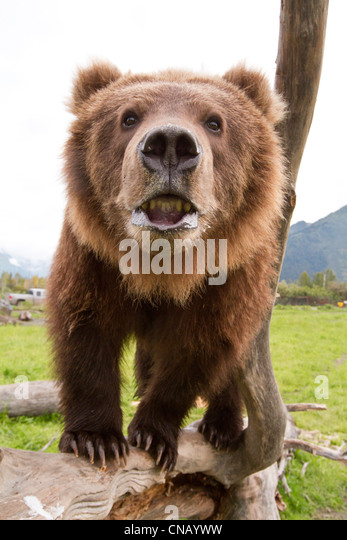 CAPTIVE: Close up of a young male Kodiak Brown bear showing bottom teeth, Alaska Wildlife Conservation Center, Alaska - Stock Image
