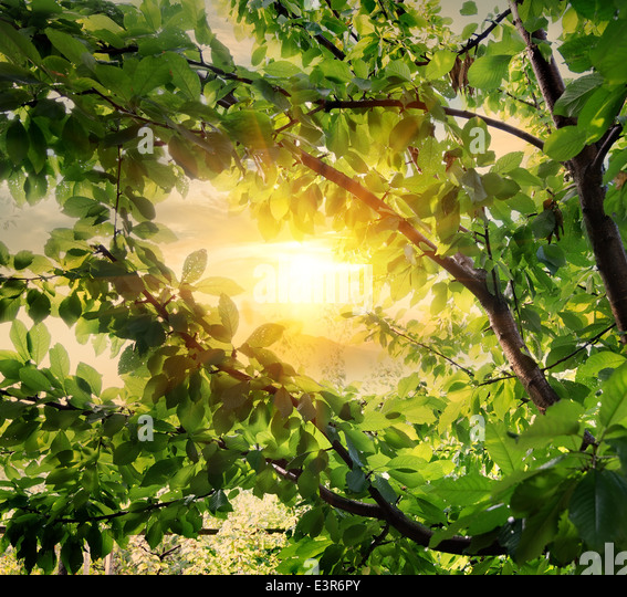 Sweet cherry tree in beams of the evening sun - Stock Image