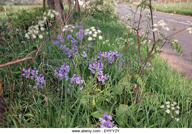 threat from naturalised wildflowers on roadside verges Wildflowers don't need compost or fertilisers to thrive - quite the opposite they  like to grow in poor soils, and this is one reason why they grow on roadside.