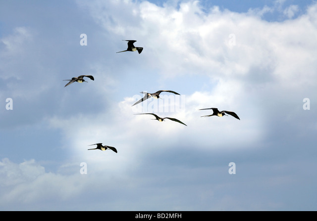 Flock of Frigate Birds ( Fregata ) in flight flying over Holbox Island, Quintana Roo, Yucatán Peninsula, Mexico, - Stock Image