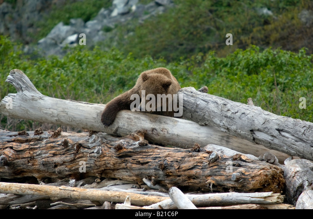 Coastal brown bear balancing on driftwood on the beach in Katmai National Park & Preserve, Alaska, United States, - Stock Image