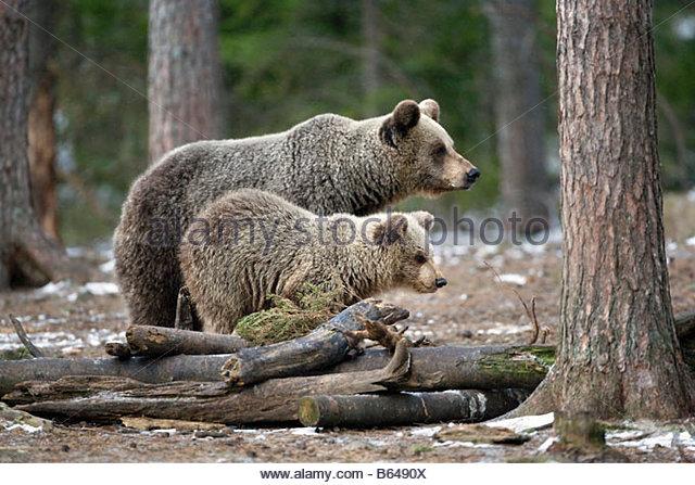 Finland, Ruhtinansalmi, near Suomussalmi, Wildlife Centre Martinselkonen Erakeskus. Brown bear. Ursus arctos. Mother - Stock-Bilder