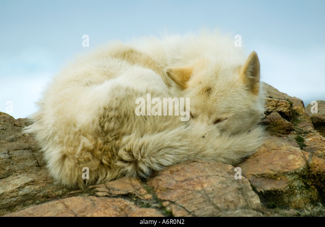 Greenland Dog or Husky at the Inuit village of Tiniteqilâq, Sermilik Fjord, East Greenland - Stock Image