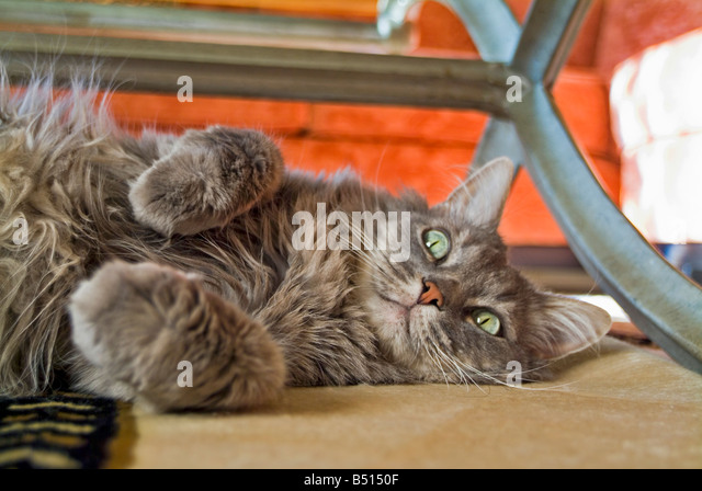Face of a 10 year-old male Maine Coon ruff around neck and chest M on forehead - Stock Image