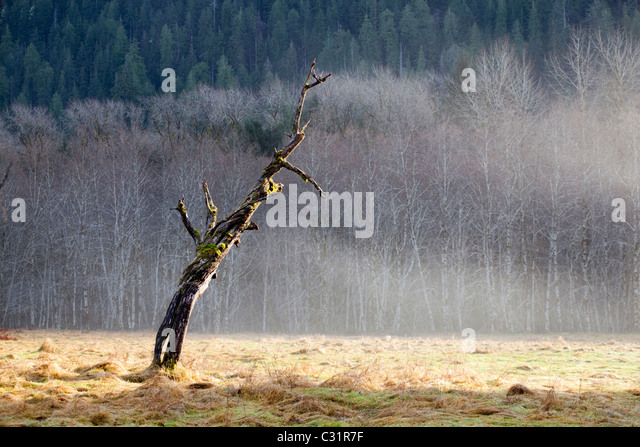 Sun rays shine down upon a dead tree standing in a cleared field in Olympic National Park, Washington. - Stock Image