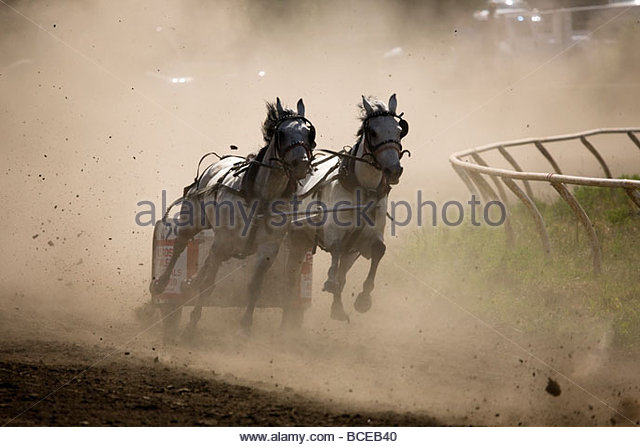 Pony chariot race on the last turn to the finish. - Stock Image