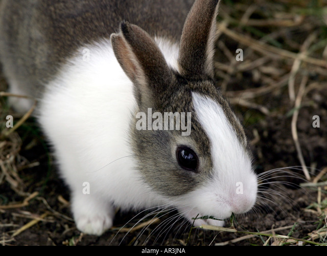 Grey and white rabbit in some straw. - Stock Image