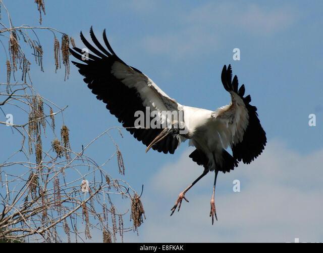 USA, Florida, Orange County, Orlando, Wood Stork (Mycteria americana) in flight - Stock Image