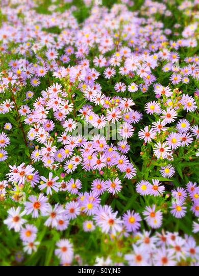 Violet daisy flowers - Stock Image
