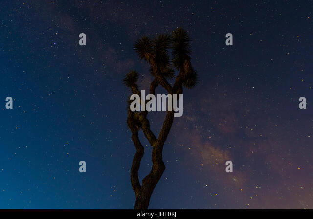 A Joshua Tree Stands Tall With the Milky Way Behind on a clear desert night - Stock Image