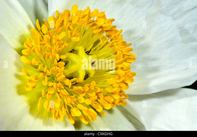 White Poppy - Stock Image