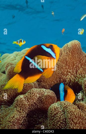 Orange-fin Anemonefish, Amphiprion chrysopterus, Namena Marine Reserve, Fiji - Stock Image