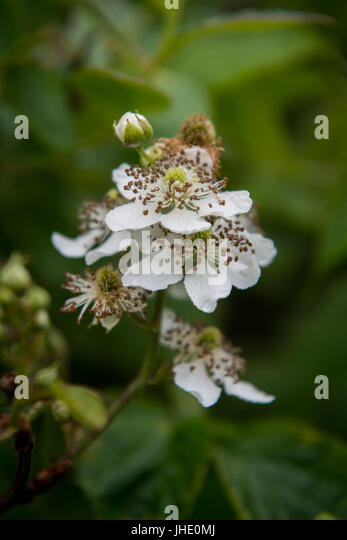 Blackberry Bloom Side View with selective focus - Stock Image