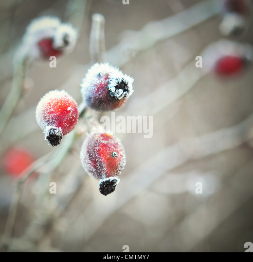 Close-up of frozen rosehips - Stock Image