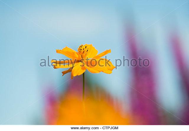 Cosmos sulphureus Polidor flower - Stock Image
