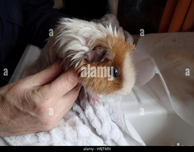 Wet ginger and white rex guinea pig standing on a white towel on a white draining board after a bath, about to be - Stock Image