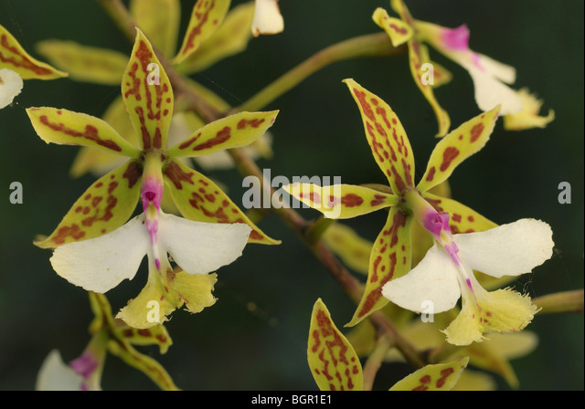 Orchid flowers (Epidendrum stamfordianum), blooming, Belize - Stock-Bilder