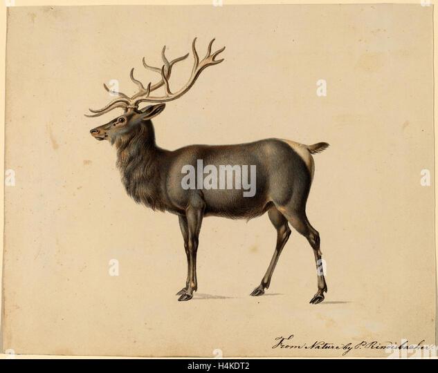 Peter Rindisbacher, European Elk, American, 1806 - 1834, gouache on wove paper - Stock Image