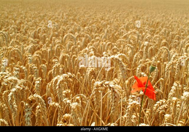rye field and a poppy Roggenfeld und ein Mohn - Stock-Bilder
