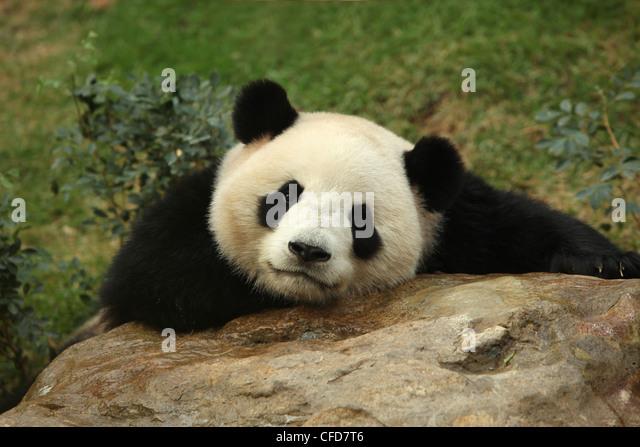 Giant Panda, Panda, Macau Panda's Pavillion, Macau - Stock Image