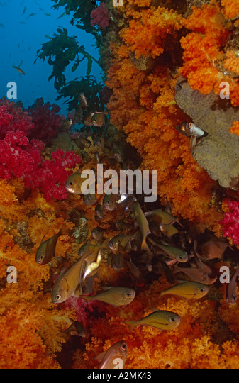 Sweeper with soft corals Pempheris sp - Stock Image