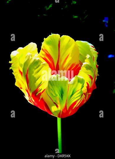Flowers, plants, tulip, red, yellow, blossom, flourish, flower cup, concepts, - Stock-Bilder