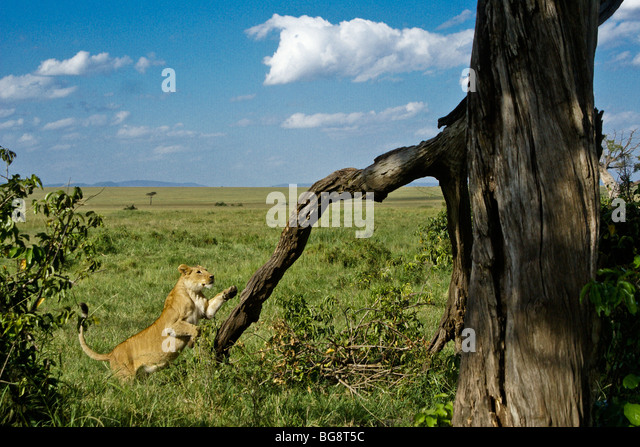 African lioness jumping into tree, Masai Mara, Kenya - Stock Image