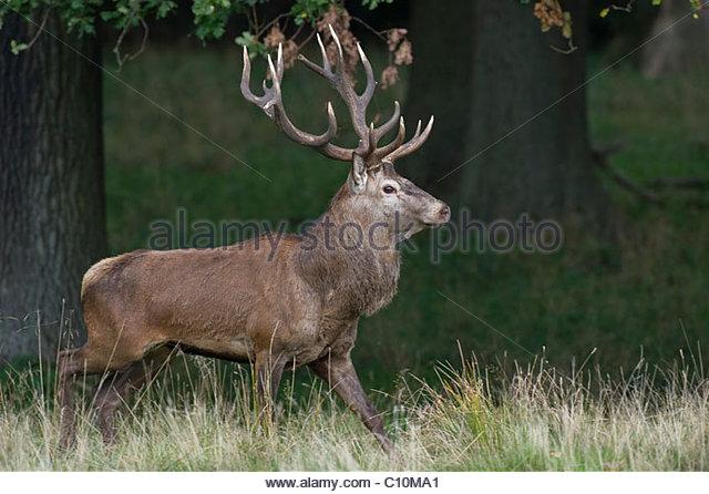 Red deer (Cervus elaphus), stag - Stock Image