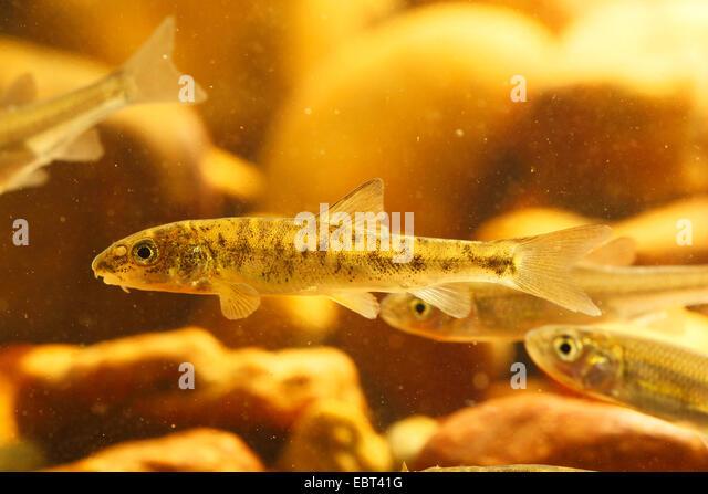 barbel (Barbus barbus), young animals under water, Germany - Stock Image