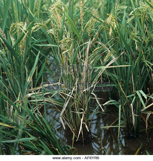 Sheath blight on rice crop Thanatephorus cucumeris - Stock Image