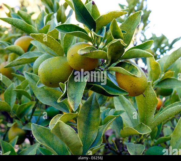 Cumquat tree stock photos cumquat tree stock images alamy for Plante kumquat