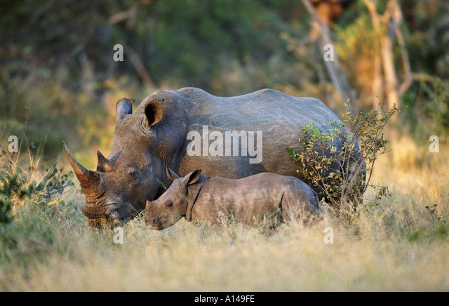 White rhino with baby South Africa - Stock Image