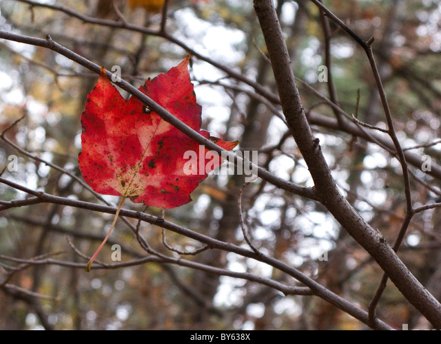 single fallen red maple leaf stuck on tree branch - Stock Image