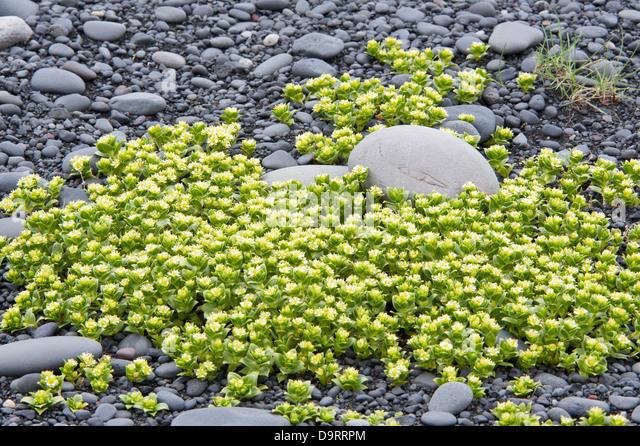 Sea Sandwort (Honckenya peploides) flowering, on Southern Coast of Iceland Europe - Stock Image