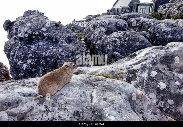 South Africa African Cape Town Table Mountain National Park nature reserve top rock hyrax Procavia capensis - Stock Image