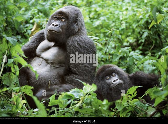 Silverback and female mountain gorillas Parc des Virungas Democratic Republic of Congo - Stock-Bilder