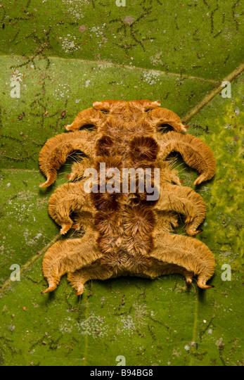 Monkey slug (Phobetron hipparchia) hag moth larva on a leaf in the Osa Peninsula, Costa Rica. - Stock Image
