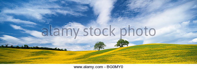 Two trees in oil seed rape field, near San Quirico d'Orcia, Tuscany, Italy, Europe - Stock Image