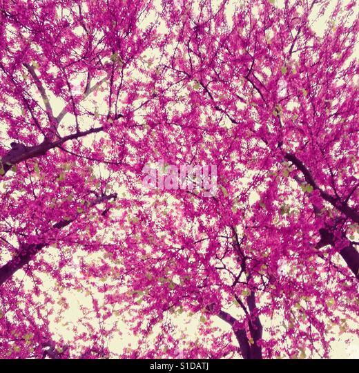 purple tree on spring - Stock-Bilder
