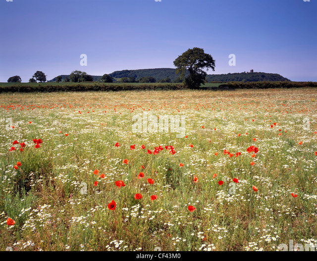 View over wild Poppies growing in a meadow towards Peckforton Castle. - Stock-Bilder