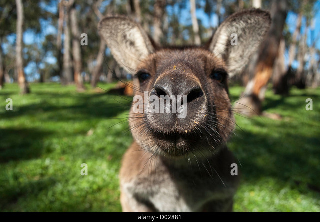A red kangaroo approaching the camera, Adelaide, South Australia - Stock Image