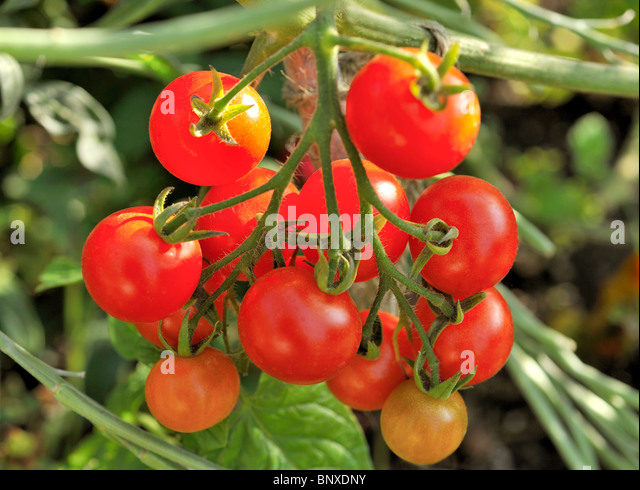 FRESH ORGANIC TOMATOES ON THE VINE - Stock Image