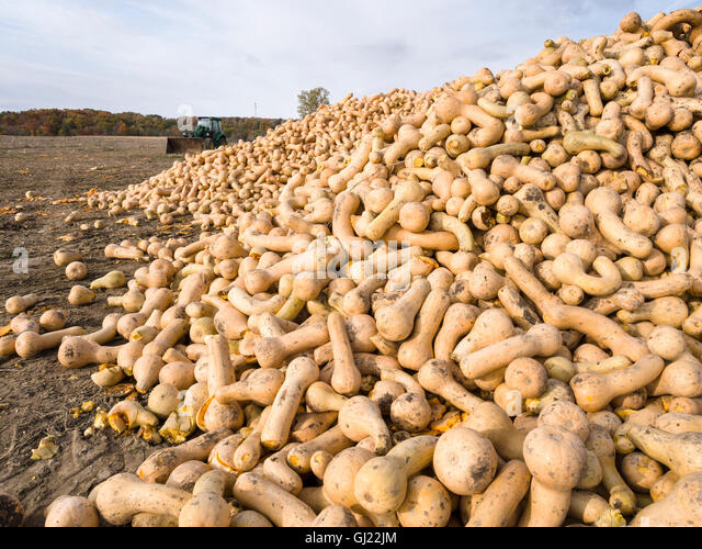 Harvested Butternut Squash. A large number of large butternut squash gathered into a large pile in the growing field - Stock Image