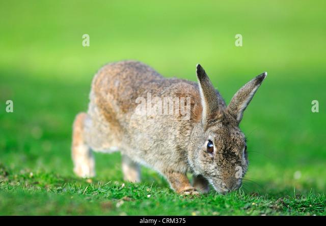 rabbit oryctolagus cuniculus - Stock Image