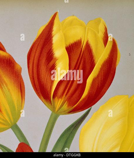 Tulipa keizerskroon, single early tulip - Stock Image
