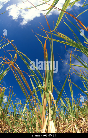 Sugar Cane Field Caribbean Barbados Closeup of Sugar Cane Leaves Stalks - Stock Image