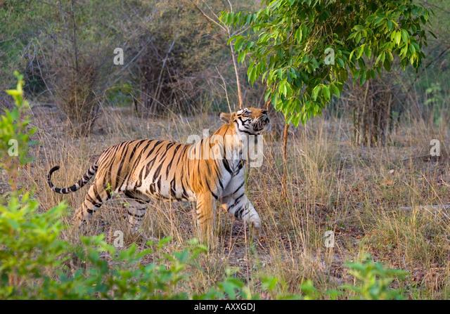Bengal tiger, (Panthera tigris), Bandhavgarh, Madhya Pradesh, India - Stock Image
